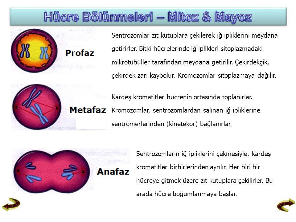 Sentrozomlar zıt kutuplara çekilerek iğ ipliklerini meydana getirirler. Bitki hücrelerinde iğ iplikleri sitoplazmadaki mikrotübüller tarafından meydan