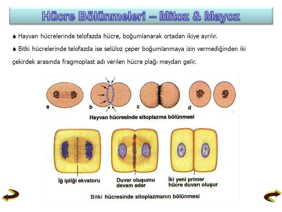  Hayvan hücrelerinde telofazda hücre, boğumlanarak ortadan ikiye ayrılır.  Bitki hücrelerinde telofazda ise selüloz çeper boğumlanmaya izin vermediğ