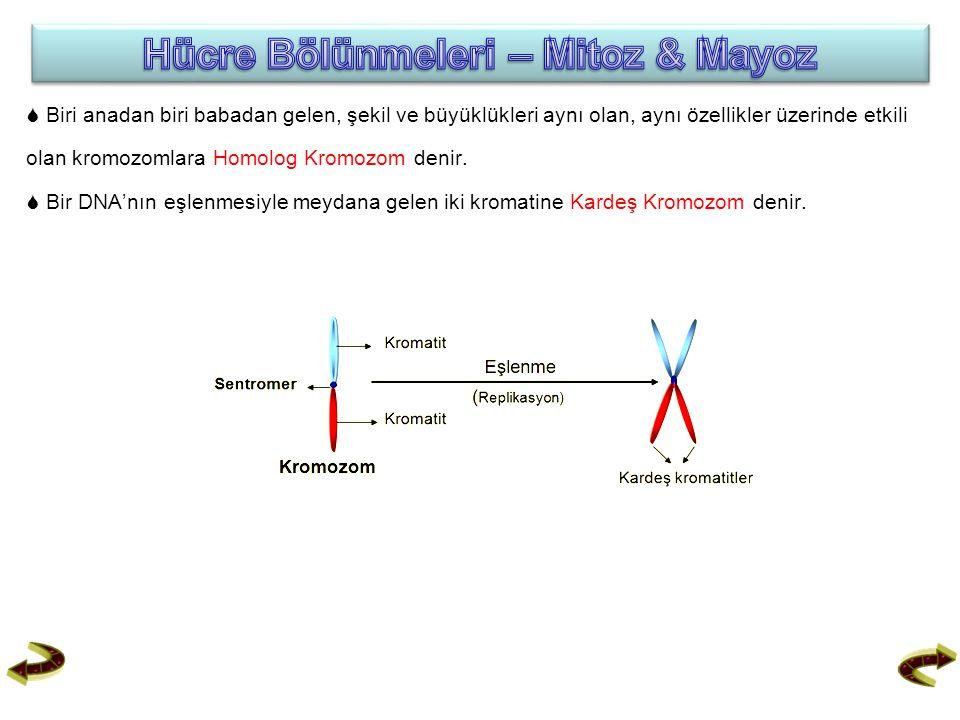  Biri anadan biri babadan gelen, şekil ve büyüklükleri aynı olan, aynı özellikler üzerinde etkili olan kromozomlara Homolog Kromozom denir.  Bir DNA