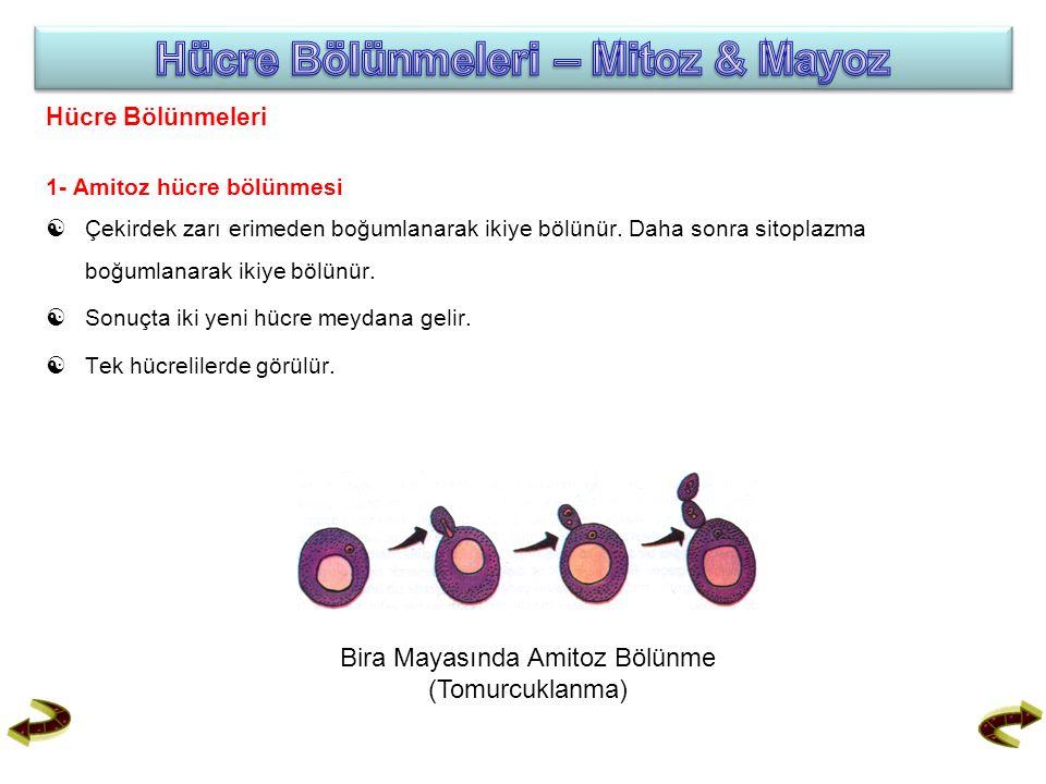 Hücre Bölünmeleri 1- Amitoz hücre bölünmesi  Çekirdek zarı erimeden boğumlanarak ikiye bölünür. Daha sonra sitoplazma boğumlanarak ikiye bölünür.  S