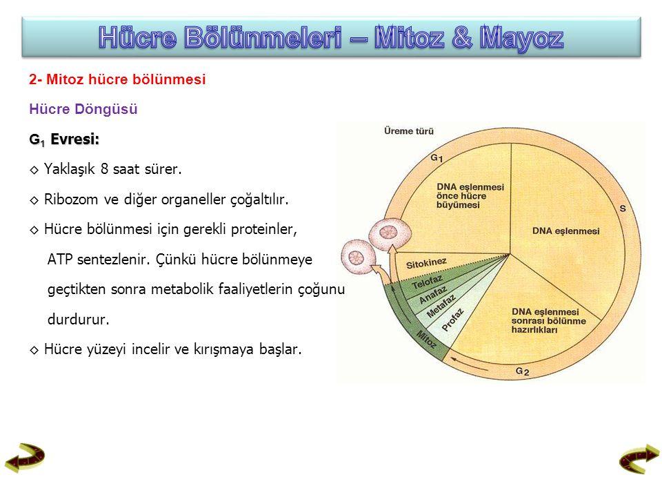 2- Mitoz hücre bölünmesi Hücre Döngüsü G 1 Evresi: ◊ Yaklaşık 8 saat sürer. ◊ Ribozom ve diğer organeller çoğaltılır. ◊ Hücre bölünmesi için gerekli p