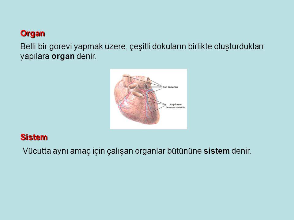 Organ Belli bir görevi yapmak üzere, çeşitli dokuların birlikte oluşturdukları yapılara organ denir.