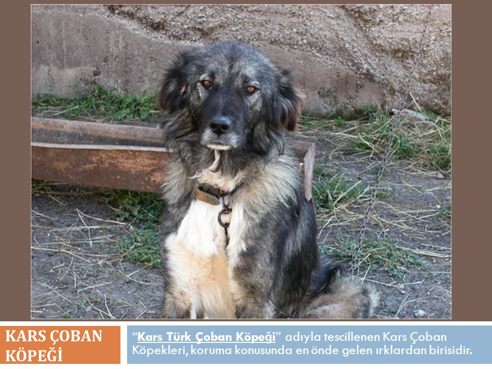 """""""Kars Türk Çoban Köpe ğ i"""" adıyla tescillenen Kars Çoban Köpekleri, koruma konusunda en önde gelen ırklardan birisidir. KARS ÇOBAN KÖPEĞİ"""