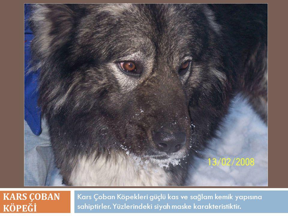 Kars Çoban Köpekleri güçlü kas ve sa ğ lam kemik yapısına sahiptirler. Yüzlerindeki siyah maske karakteristiktir. KARS ÇOBAN KÖPEĞİ