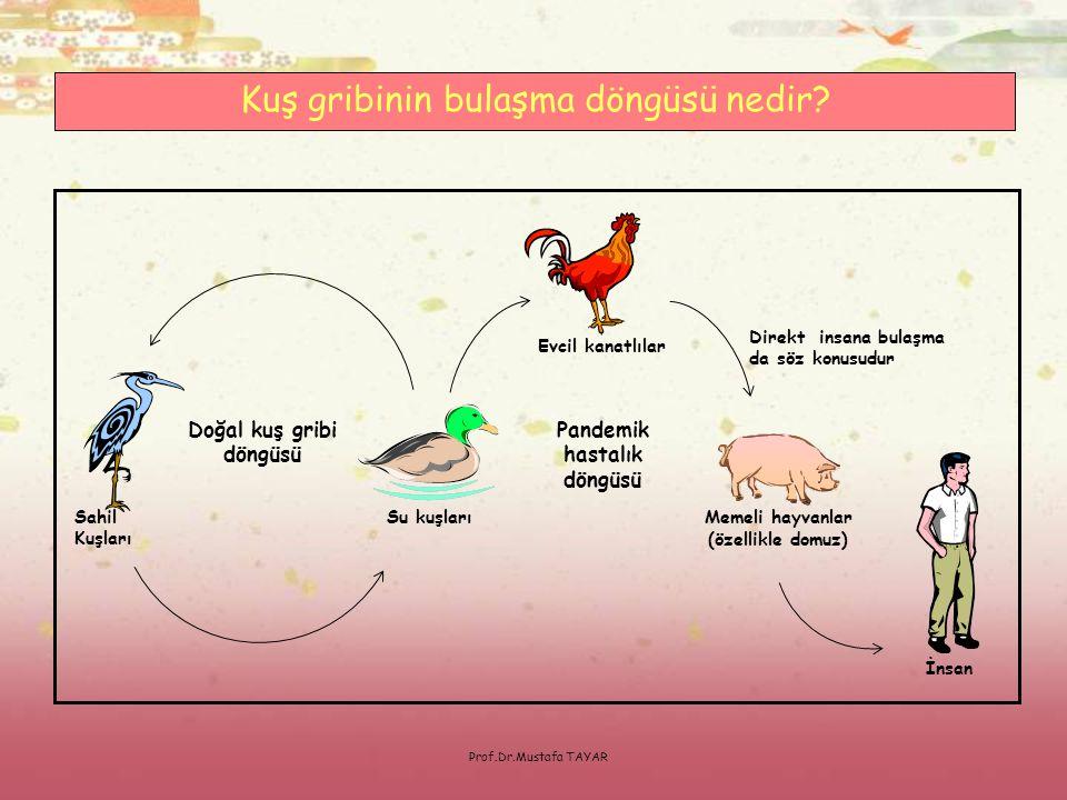 Prof.Dr.Mustafa TAYAR Sahil Kuşları Pandemik hastalık döngüsü Doğal kuş gribi döngüsü Memeli hayvanlar (özellikle domuz) Su kuşları Evcil kanatlılar İ