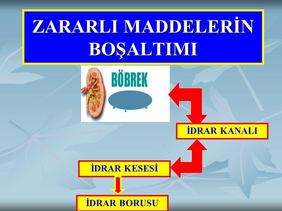 Boşaltım Organları BÖBREKLER Bel hizasında iki adet böbrek bulunur.