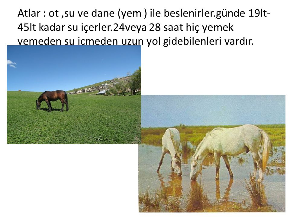 Atlar : ot,su ve dane (yem ) ile beslenirler.günde 19lt- 45lt kadar su içerler.24veya 28 saat hiç yemek yemeden su içmeden uzun yol gidebilenleri vard