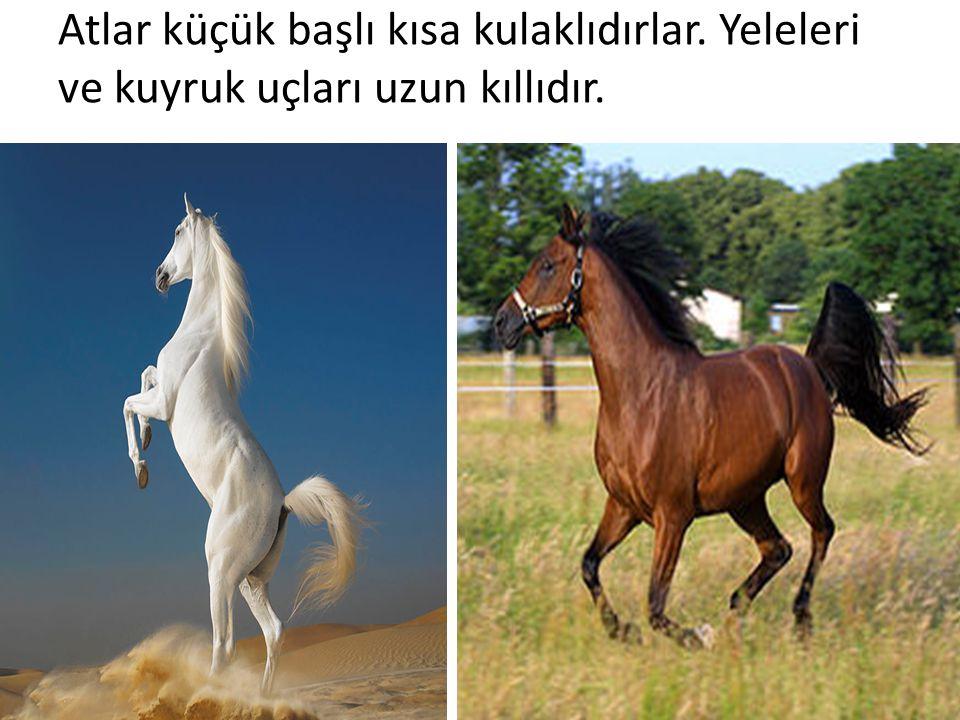 Atlar küçük başlı kısa kulaklıdırlar. Yeleleri ve kuyruk uçları uzun kıllıdır.