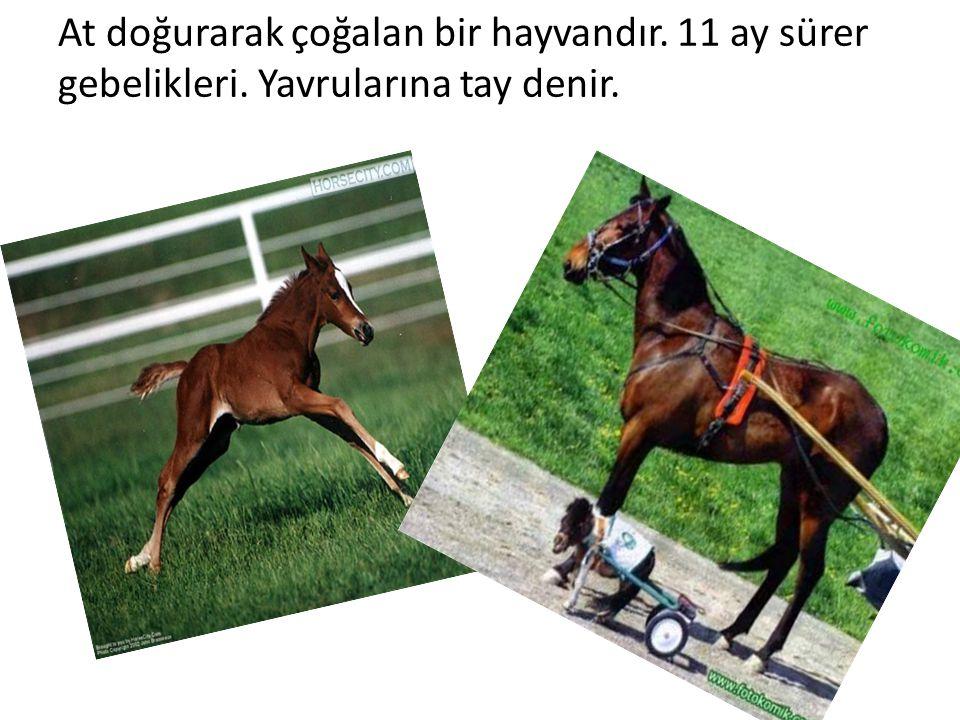 At doğurarak çoğalan bir hayvandır. 11 ay sürer gebelikleri. Yavrularına tay denir.
