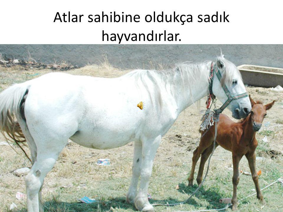 Atlar sahibine oldukça sadık hayvandırlar.