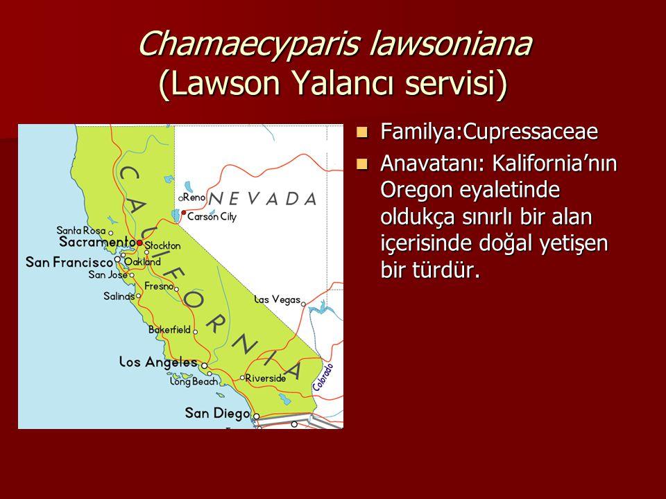 Chamaecyparis lawsoniana (Lawson Yalancı servisi)  Familya:Cupressaceae  Anavatanı: Kalifornia'nın Oregon eyaletinde oldukça sınırlı bir alan içeris