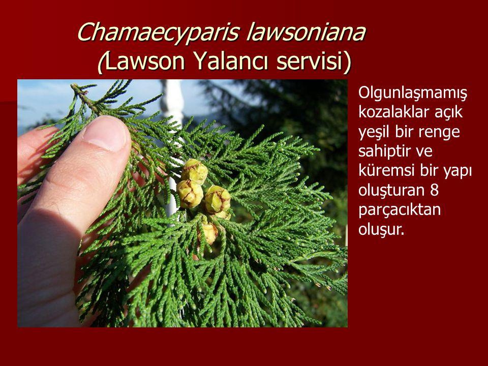 Chamaecyparis lawsoniana (Lawson Yalancı servisi) Olgunlaşmamış kozalaklar açık yeşil bir renge sahiptir ve küremsi bir yapı oluşturan 8 parçacıktan o