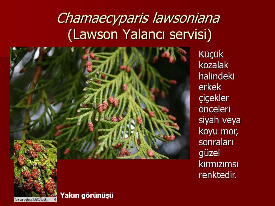 Chamaecyparis lawsoniana (Lawson Yalancı servisi) Küçük kozalak halindeki erkek çiçekler önceleri siyah veya koyu mor, sonraları güzel kırmızımsı renk