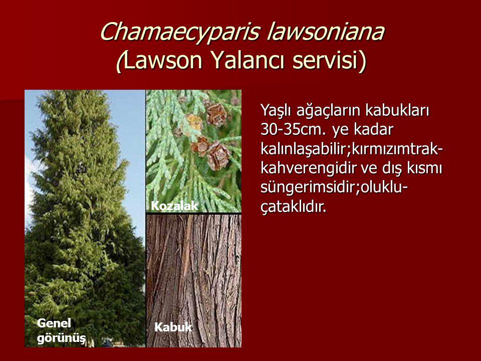 Chamaecyparis lawsoniana (Lawson Yalancı servisi) Yaşlı ağaçların kabukları 30-35cm. ye kadar kalınlaşabilir;kırmızımtrak- kahverengidir ve dış kısmı