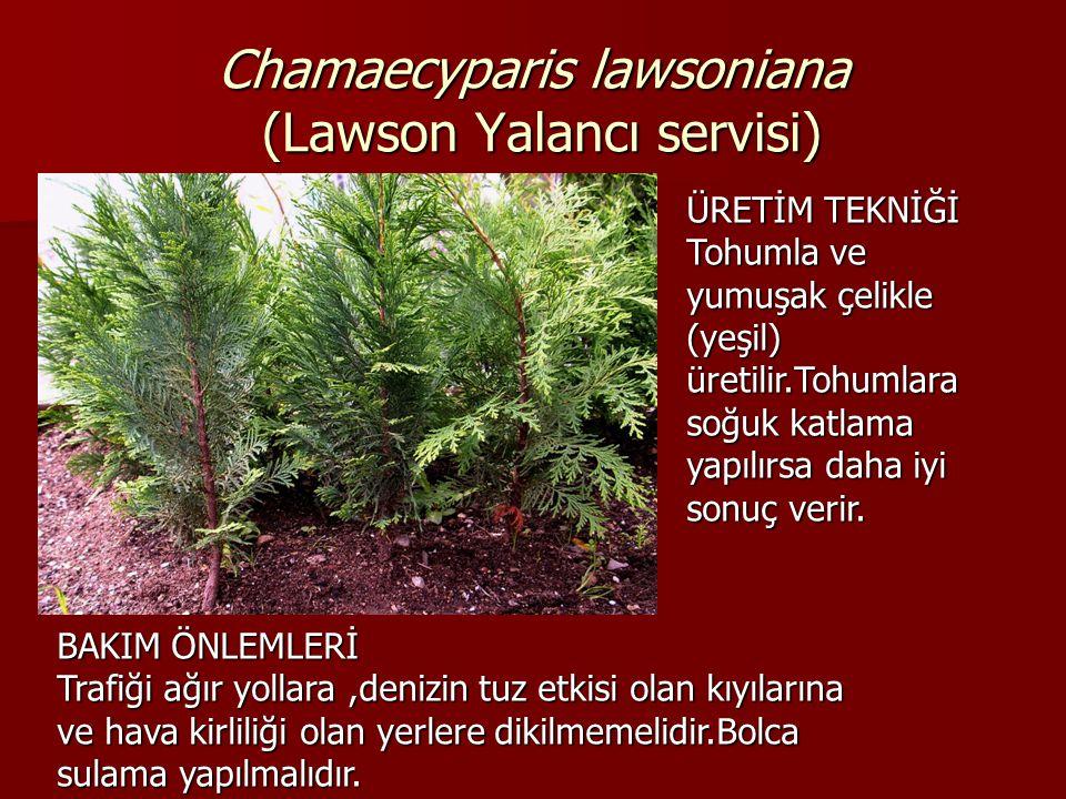 Chamaecyparis lawsoniana (Lawson Yalancı servisi) ÜRETİM TEKNİĞİ Tohumla ve yumuşak çelikle (yeşil) üretilir.Tohumlara soğuk katlama yapılırsa daha iy