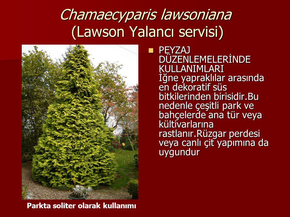 Chamaecyparis lawsoniana (Lawson Yalancı servisi)  PEYZAJ DÜZENLEMELERİNDE KULLANIMLARI İğne yapraklılar arasında en dekoratif süs bitkilerinden biri