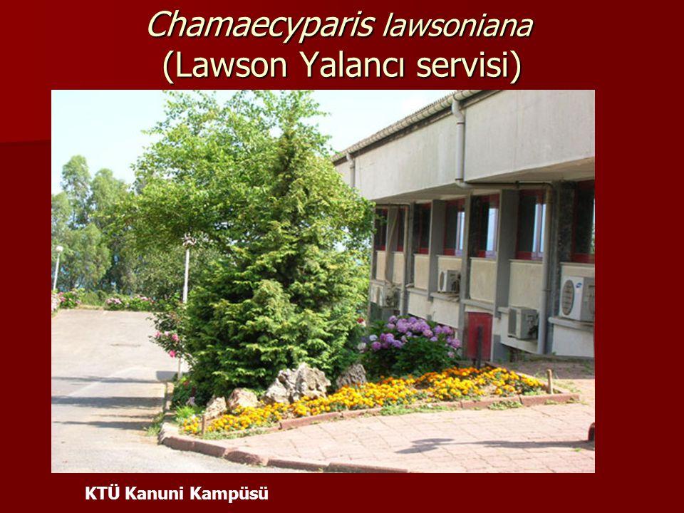Chamaecyparis lawsoniana (Lawson Yalancı servisi) KTÜ Kanuni Kampüsü