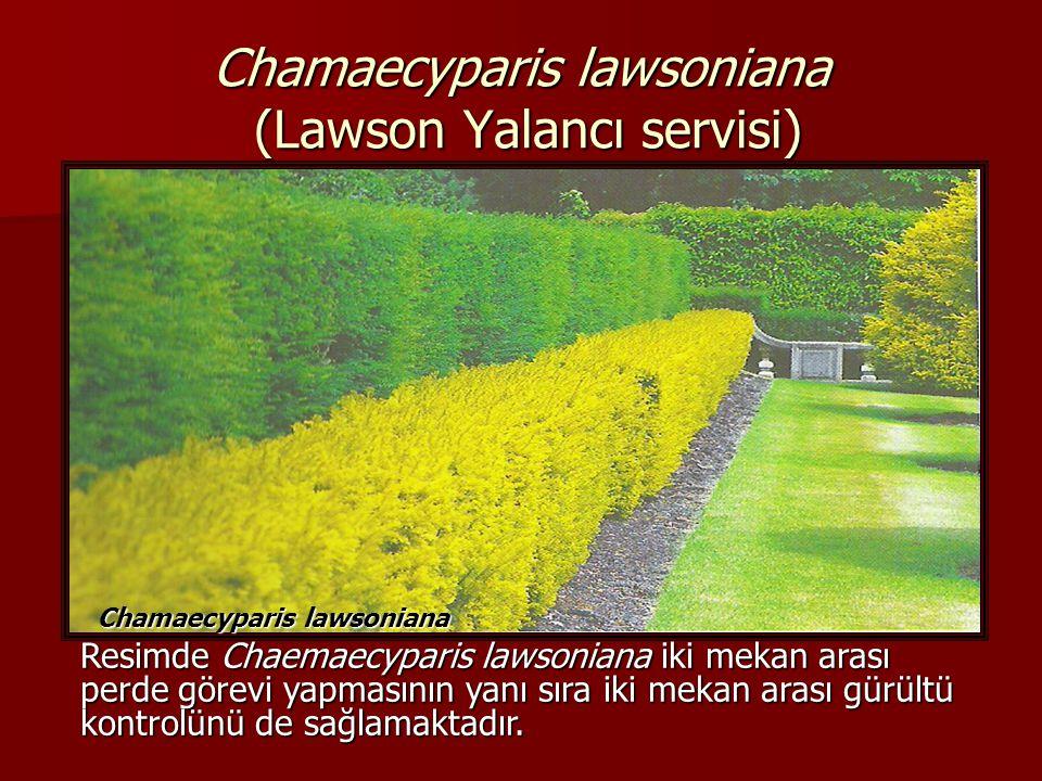 Chamaecyparis lawsoniana (Lawson Yalancı servisi) Chamaecyparis lawsoniana Resimde Chaemaecyparis lawsoniana iki mekan arası perde görevi yapmasının y