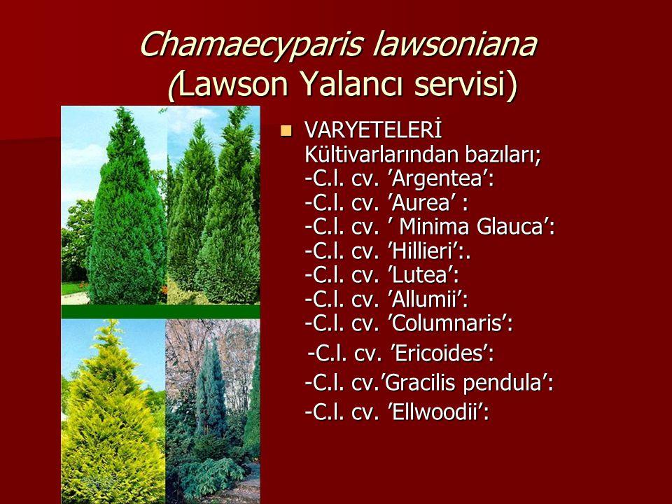Chamaecyparis lawsoniana (Lawson Yalancı servisi)  VARYETELERİ Kültivarlarından bazıları; -C.l. cv. 'Argentea': -C.l. cv. 'Aurea' : -C.l. cv. ' Minim