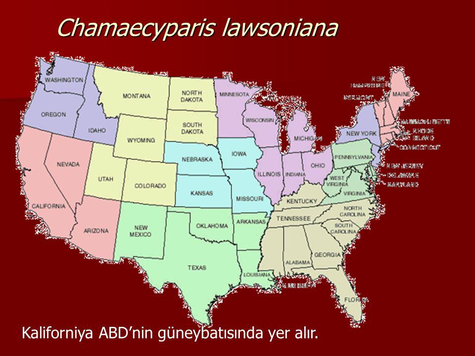 Chamaecyparis lawsoniana (Lawson Yalancı servisi)  EKOLOJİK İSTEKLERİ Sıcaklık:Vatanında 1000 m.