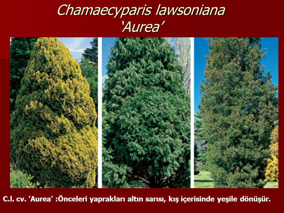 Chamaecyparis lawsoniana 'Aurea' C.l. cv. 'Aurea' :Önceleri yaprakları altın sarısı, kış içerisinde yeşile dönüşür.