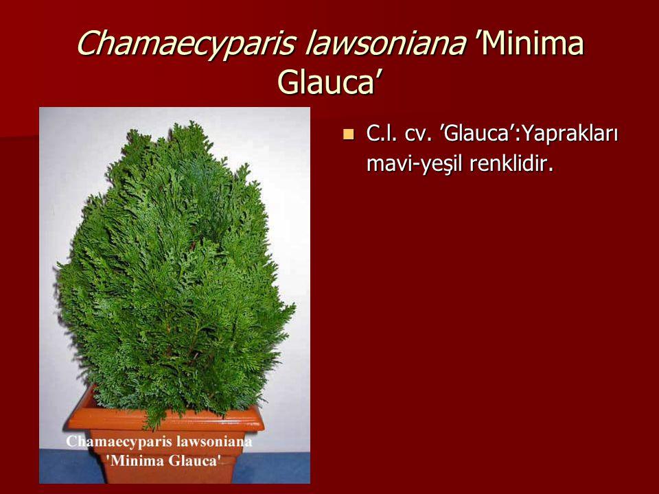 Chamaecyparis lawsoniana 'Minima Glauca'  C.l. cv. 'Glauca':Yaprakları mavi-yeşil renklidir.