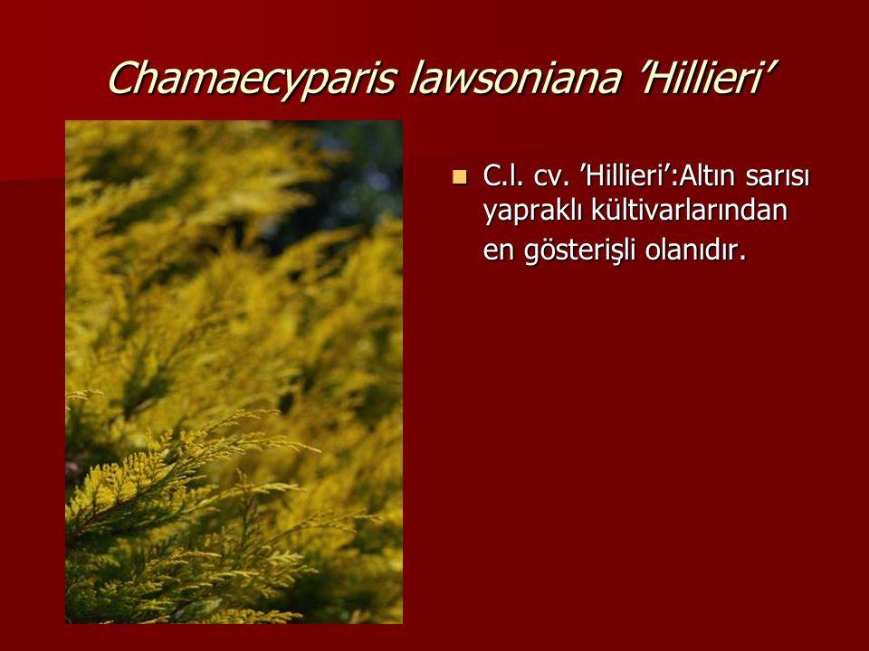 Chamaecyparis lawsoniana 'Hillieri'  C.l. cv. 'Hillieri':Altın sarısı yapraklı kültivarlarından en gösterişli olanıdır.