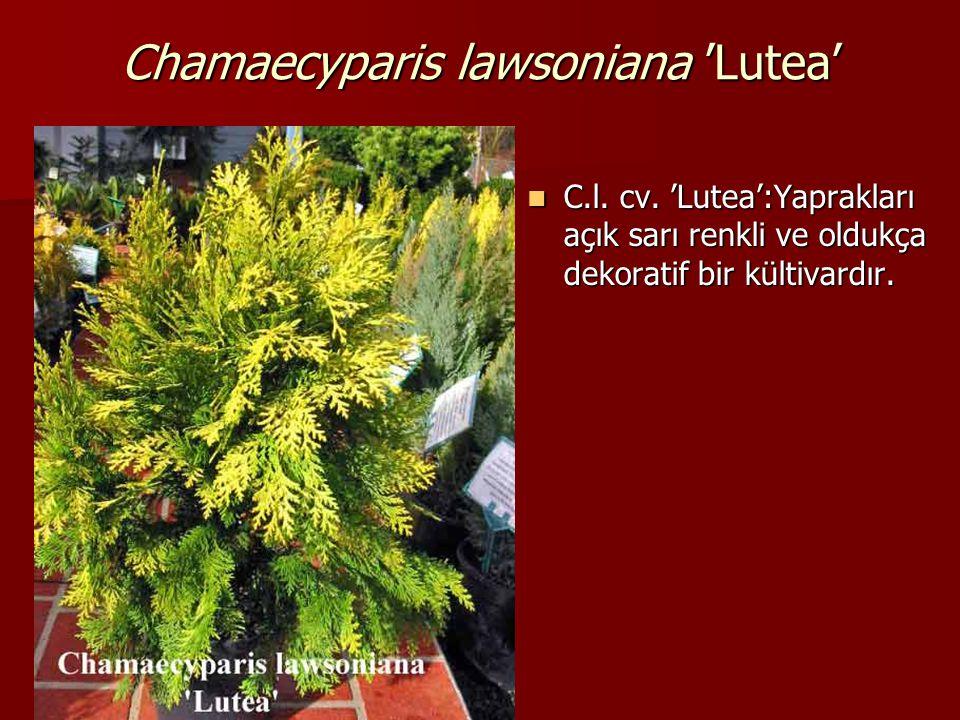 Chamaecyparis lawsoniana 'Lutea'  C.l. cv. 'Lutea':Yaprakları açık sarı renkli ve oldukça dekoratif bir kültivardır.
