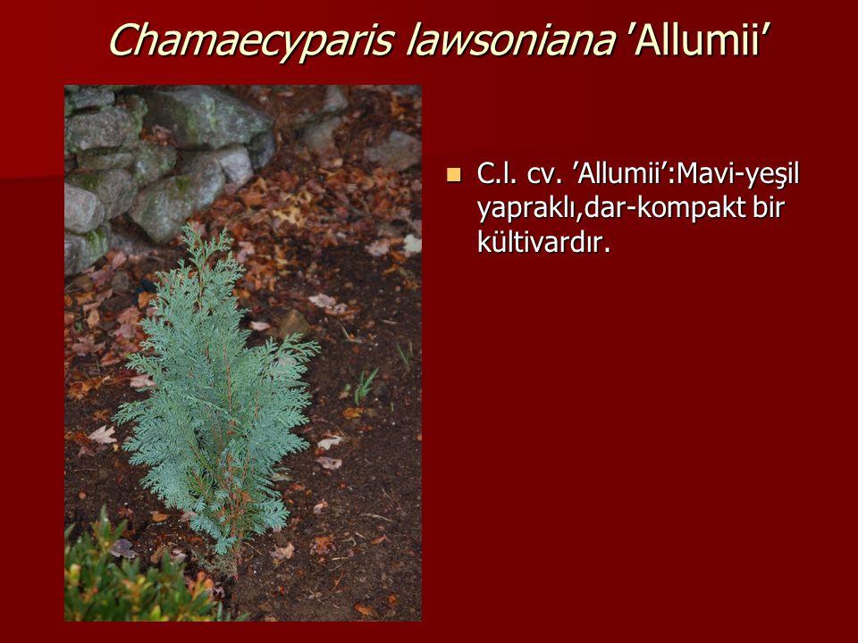 Chamaecyparis lawsoniana 'Allumii'  C.l. cv. 'Allumii':Mavi-yeşil yapraklı,dar-kompakt bir kültivardır.