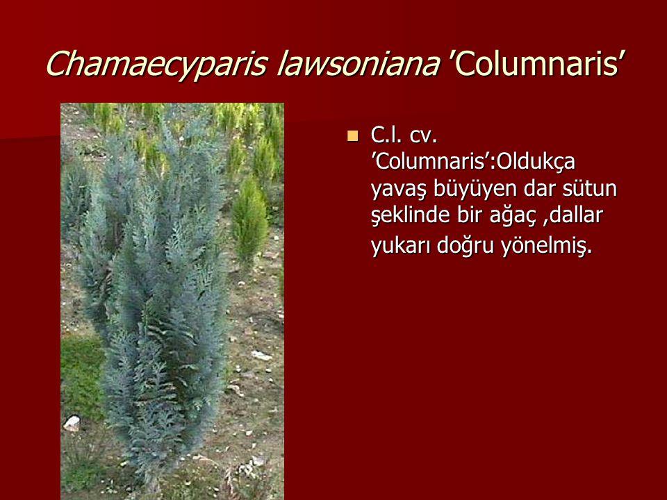 Chamaecyparis lawsoniana 'Columnaris'  C.l. cv. 'Columnaris':Oldukça yavaş büyüyen dar sütun şeklinde bir ağaç,dallar yukarı doğru yönelmiş.