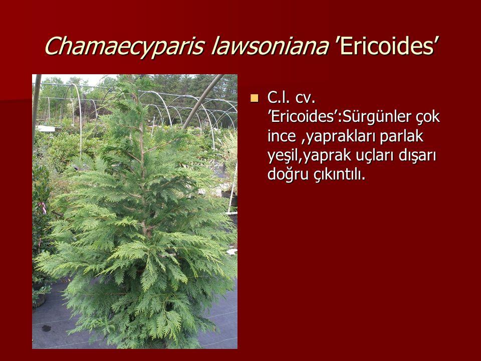 Chamaecyparis lawsoniana 'Ericoides'  C.l. cv. 'Ericoides':Sürgünler çok ince,yaprakları parlak yeşil,yaprak uçları dışarı doğru çıkıntılı.