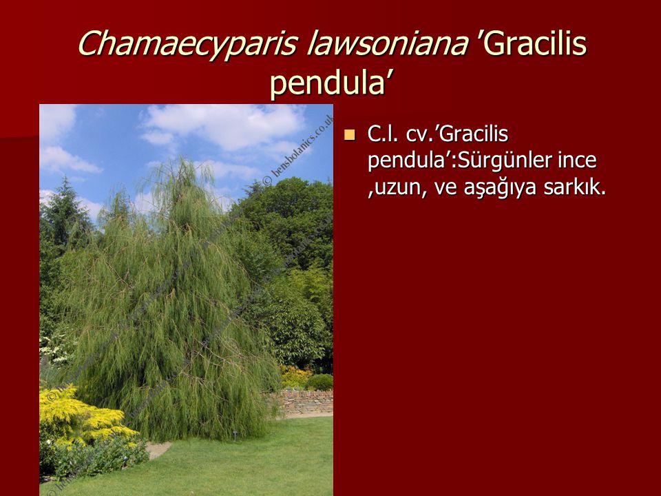 Chamaecyparis lawsoniana 'Gracilis pendula'  C.l. cv.'Gracilis pendula':Sürgünler ince,uzun, ve aşağıya sarkık.