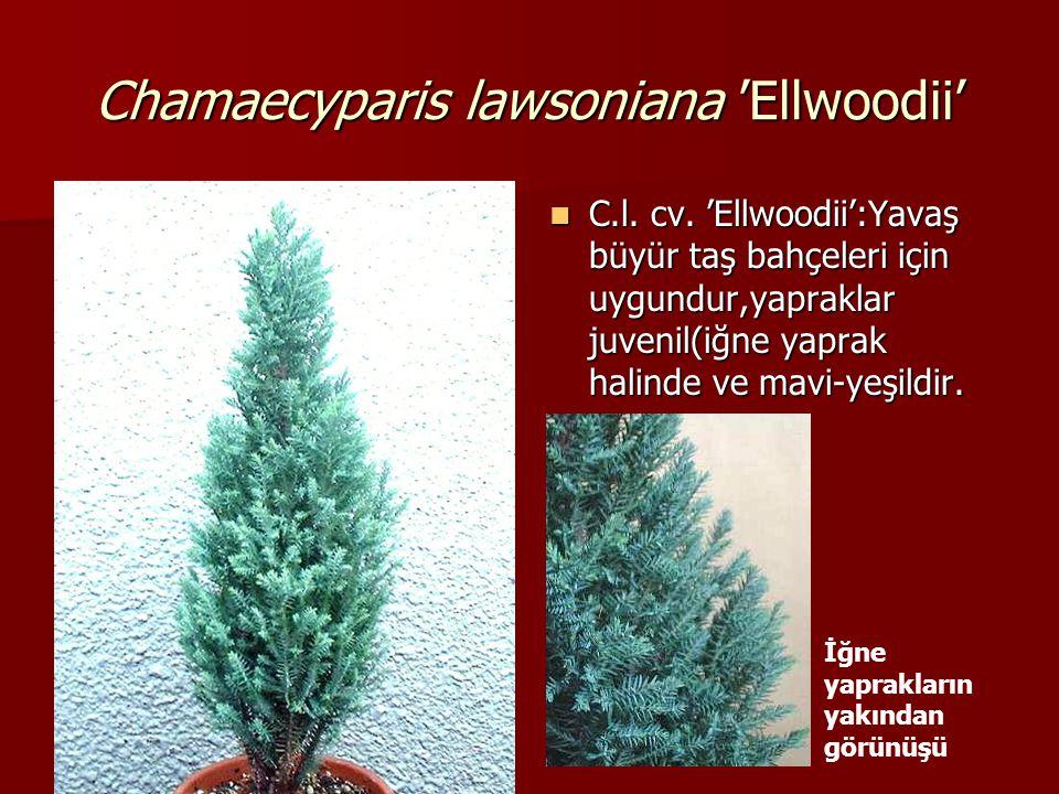 Chamaecyparis lawsoniana 'Ellwoodii'  C.l. cv. 'Ellwoodii':Yavaş büyür taş bahçeleri için uygundur,yapraklar juvenil(iğne yaprak halinde ve mavi-yeşi