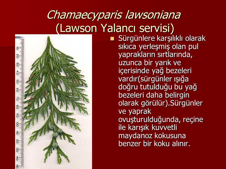 Chamaecyparis lawsoniana (Lawson Yalancı servisi)  Sürgünlere karşılıklı olarak sıkıca yerleşmiş olan pul yaprakların sırtlarında, uzunca bir yarık v
