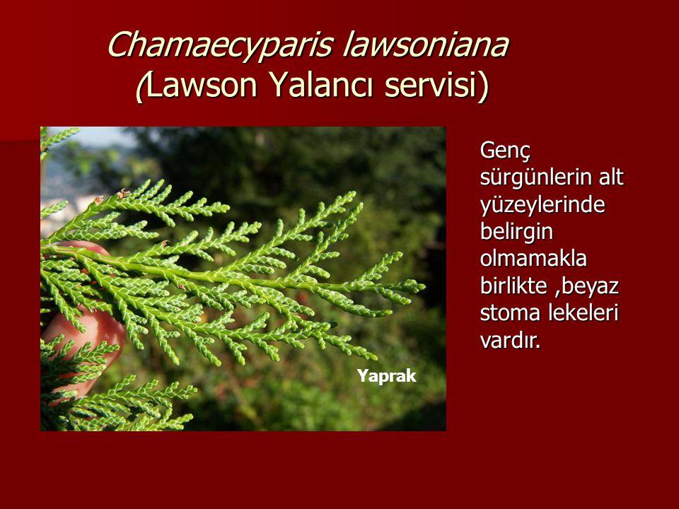 Chamaecyparis lawsoniana (Lawson Yalancı servisi) Yaprak Genç sürgünlerin alt yüzeylerinde belirgin olmamakla birlikte,beyaz stoma lekeleri vardır.