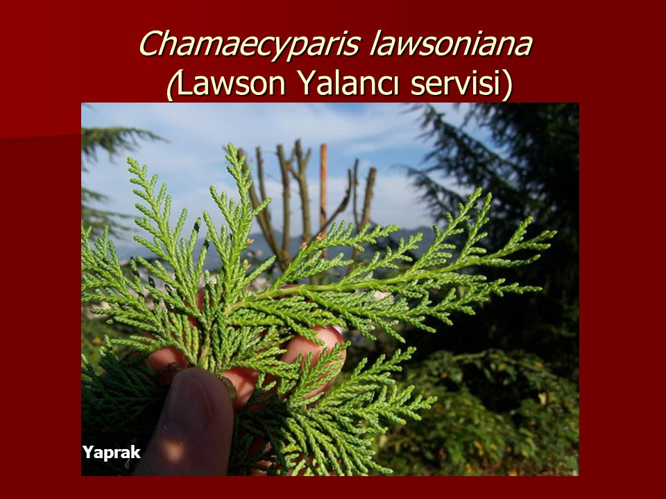 Chamaecyparis lawsoniana (Lawson Yalancı servisi) Yaprak