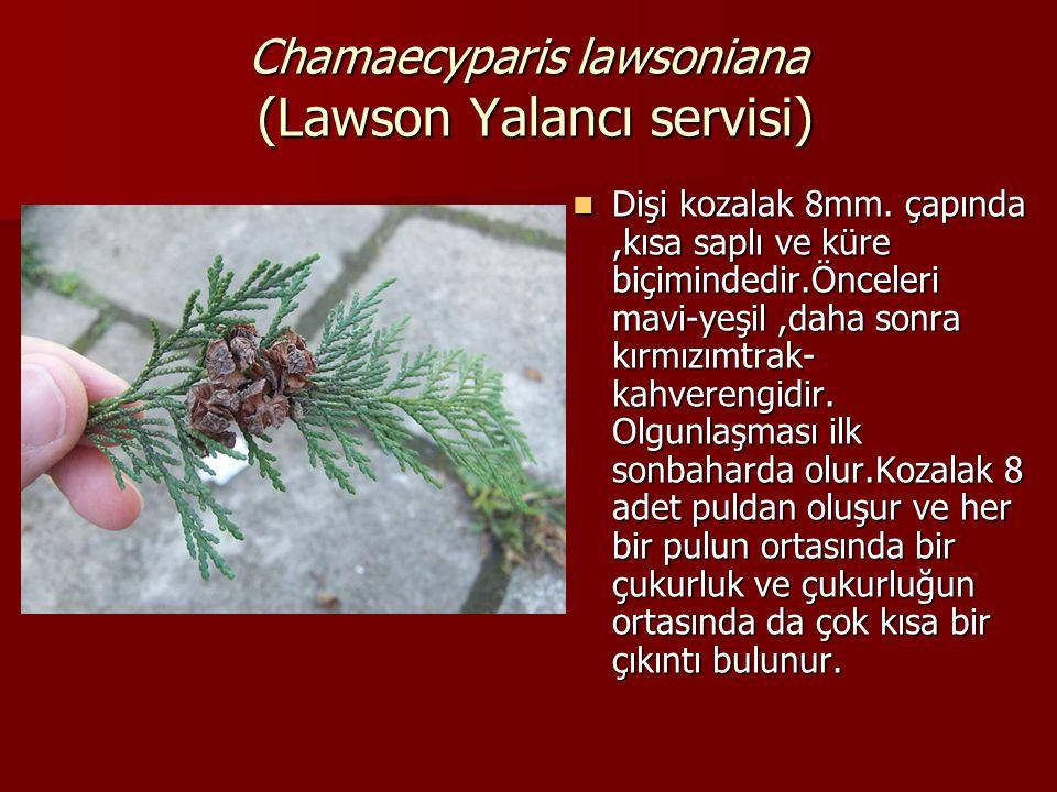 Chamaecyparis lawsoniana (Lawson Yalancı servisi)  Dişi kozalak 8mm. çapında,kısa saplı ve küre biçimindedir.Önceleri mavi-yeşil,daha sonra kırmızımt