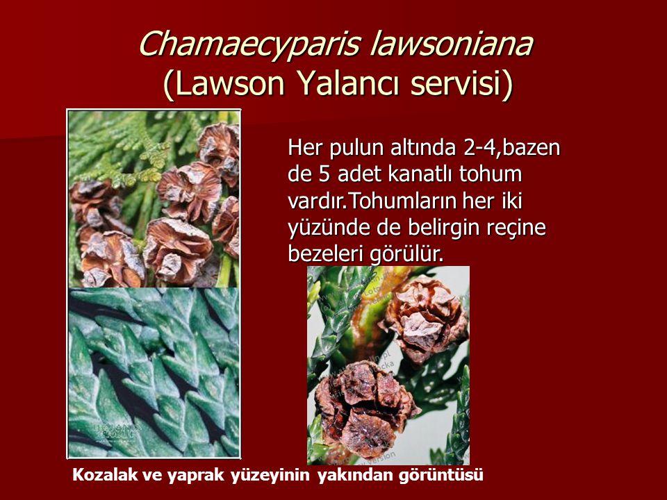Chamaecyparis lawsoniana (Lawson Yalancı servisi) Kozalak ve yaprak yüzeyinin yakından görüntüsü Her pulun altında 2-4,bazen de 5 adet kanatlı tohum v