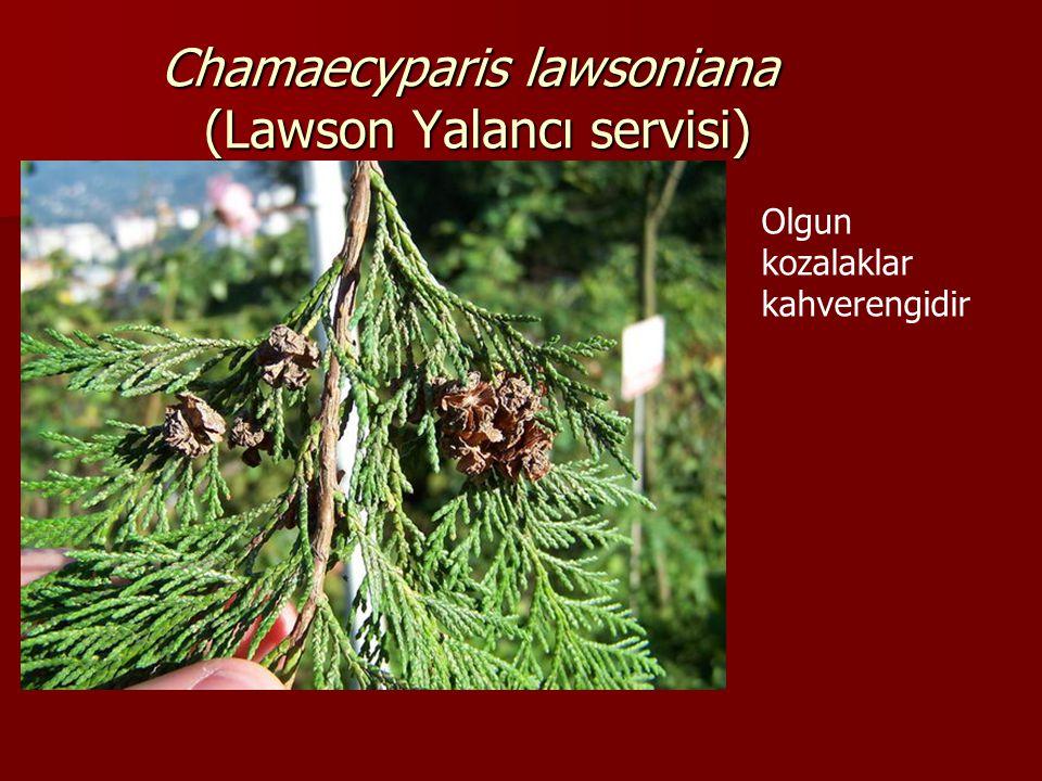 Chamaecyparis lawsoniana (Lawson Yalancı servisi) Olgunlaşmamış kozalaklar açık yeşil bir renge sahiptir ve küremsi bir yapı oluşturan 8 parçacıktan oluşur.