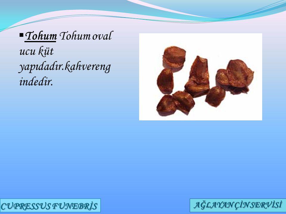  Tohum Tohum oval ucu küt yapıdadır.kahvereng indedir. CUPRESSUS FUNEBRİS AĞLAYAN ÇİN SERVİSİ