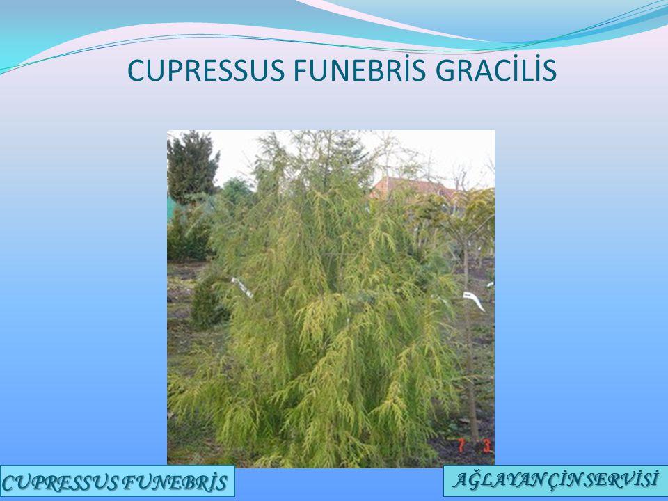 CUPRESSUS FUNEBRİS GRACİLİS CUPRESSUS FUNEBRİS AĞLAYAN ÇİN SERVİSİ