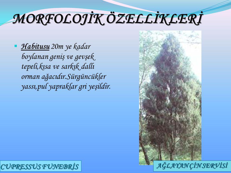 MORFOLOJİK ÖZELLİKLERİ  Habitusu 20m ye kadar boylanan geniş ve gevşek tepeli,kısa ve sarkık dallı orman ağacıdır.Sürgüncükler yassı,pul yapraklar gr