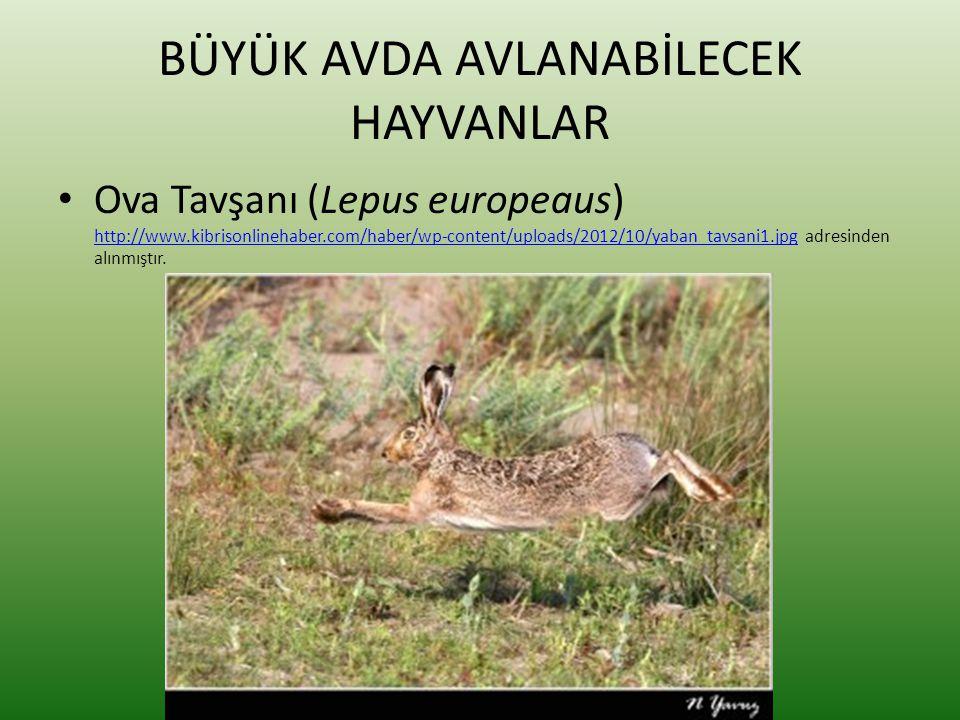 BÜYÜK AVDA AVLANABİLECEK HAYVANLAR • Ova Tavşanı (Lepus europeaus) http://www.kibrisonlinehaber.com/haber/wp-content/uploads/2012/10/yaban_tavsani1.jp