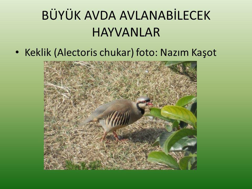 BÜYÜK AVDA AVLANABİLECEK HAYVANLAR • Keklik (Alectoris chukar) foto: Nazım Kaşot
