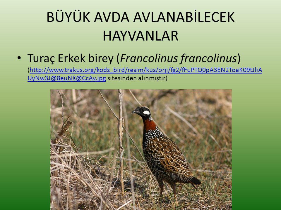 BÜYÜK AVDA AVLANABİLECEK HAYVANLAR • Turaç Erkek birey (Francolinus francolinus) (http://www.trakus.org/kods_bird/resim/kus/orji/fg2/fFuPTQ0pA3EN2ToaK