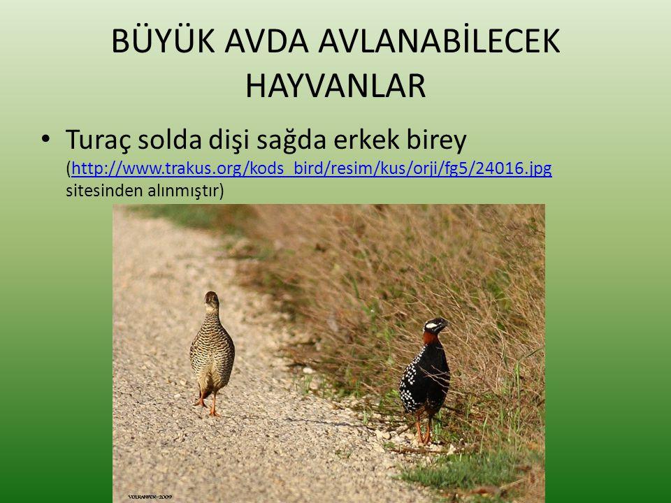 BÜYÜK AVDA AVLANABİLECEK HAYVANLAR • Turaç solda dişi sağda erkek birey (http://www.trakus.org/kods_bird/resim/kus/orji/fg5/24016.jpg sitesinden alınm