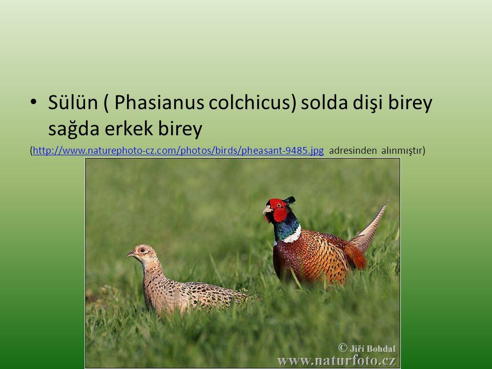 • Sülün ( Phasianus colchicus) solda dişi birey sağda erkek birey (http://www.naturephoto-cz.com/photos/birds/pheasant-9485.jpg adresinden alınmıştır)