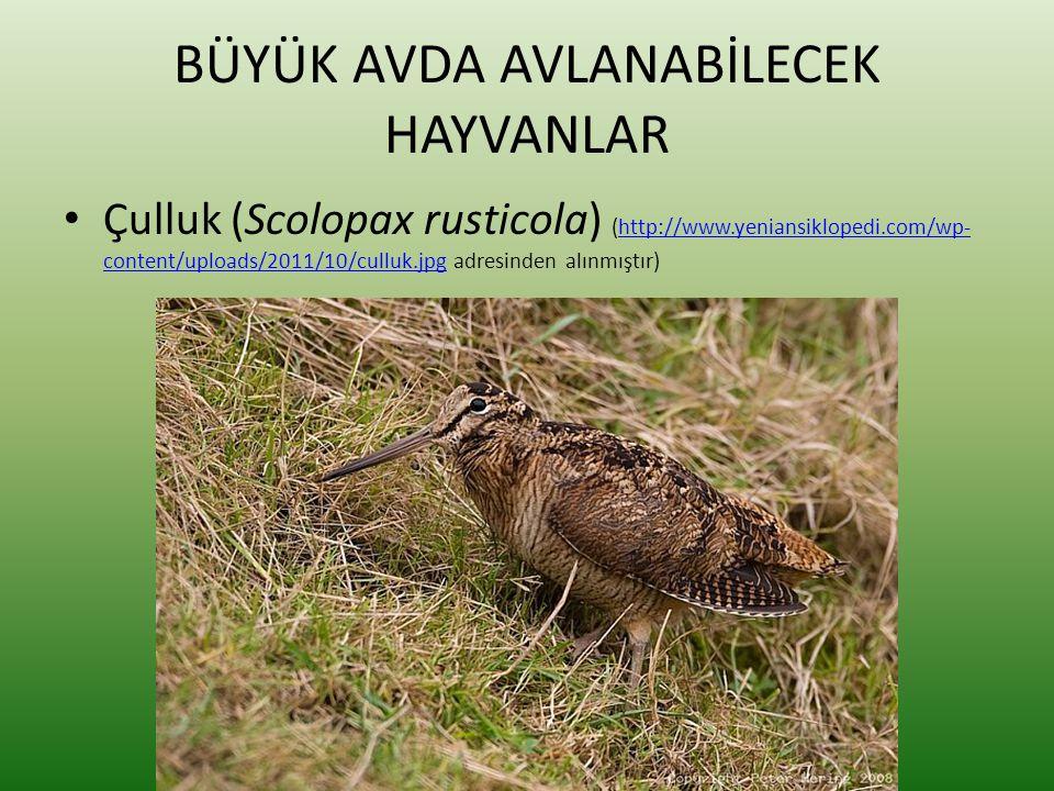 BÜYÜK AVDA AVLANABİLECEK HAYVANLAR • Çulluk (Scolopax rusticola) (http://www.yeniansiklopedi.com/wp- content/uploads/2011/10/culluk.jpg adresinden alı