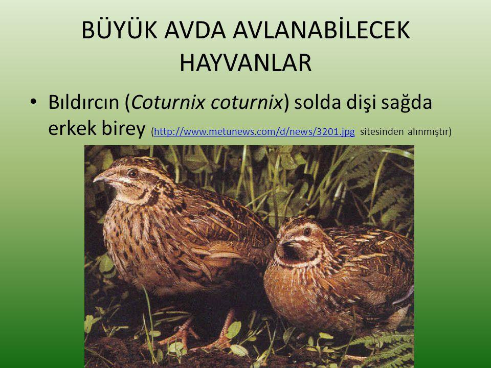 BÜYÜK AVDA AVLANABİLECEK HAYVANLAR • Bıldırcın (Coturnix coturnix) solda dişi sağda erkek birey (http://www.metunews.com/d/news/3201.jpg sitesinden al