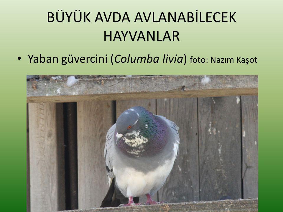 BÜYÜK AVDA AVLANABİLECEK HAYVANLAR • Yaban güvercini (Columba livia) foto: Nazım Kaşot